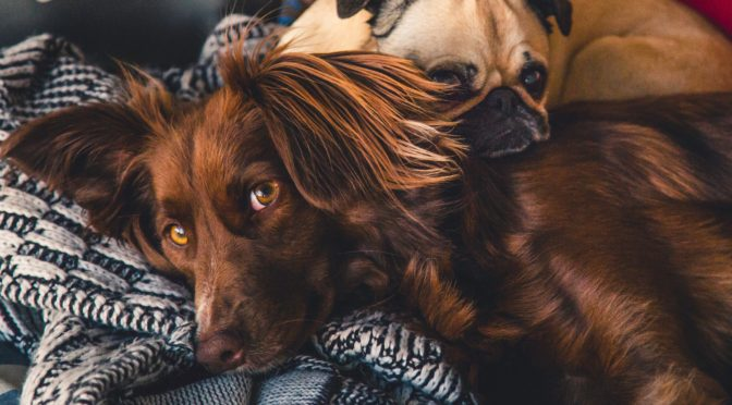 two dogs cuddling on blanket