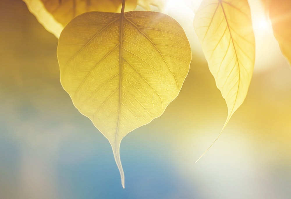 Golden sunlight shining on heart-shaped leaf